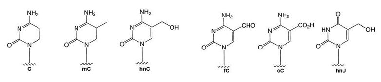 methylated dC DNA methylation Epigenetic