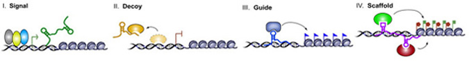 Potential Functions and Molecular Mechanisms of lncRNAs