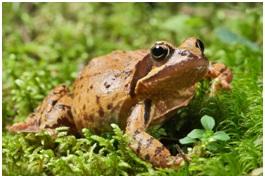 Text Box:  Figure 2: common Frog, Rana temporaria.