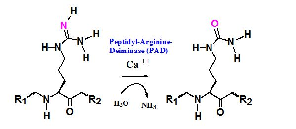 citrullinated peptide synthesis
