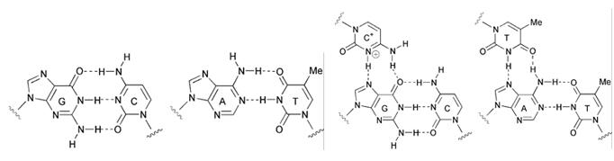 hoogsteen hydrogen bond