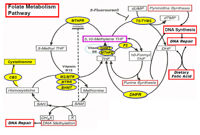 Genes involved in folate metabolism