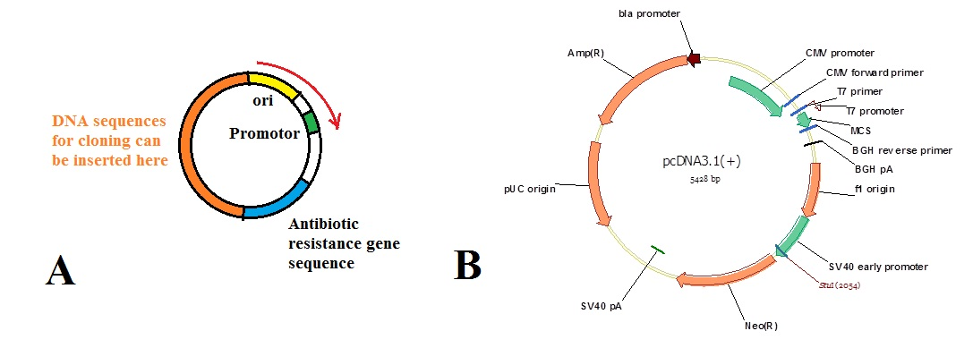 plasmids are autonomous circular oligonucleotideshowever  most plasmid vectors contain just the essential nucleotide sequences required for their use in dna cloning  figure  shows diagrams of cloning