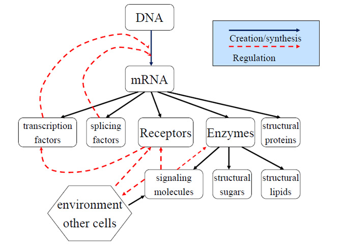 Primary Flows of Information and Substance in a Cell