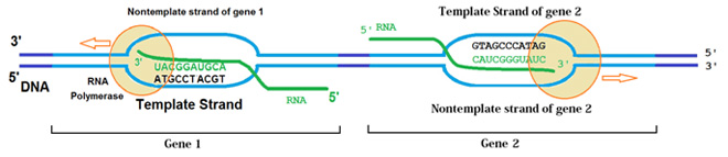 Transcription of two genes