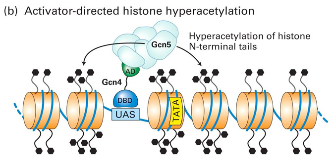 Transcriptional Repression and Activation in Yeast - II