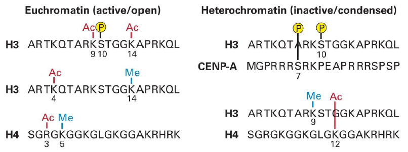 Chromatin Condensation