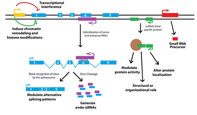 Functions of lncRNAs