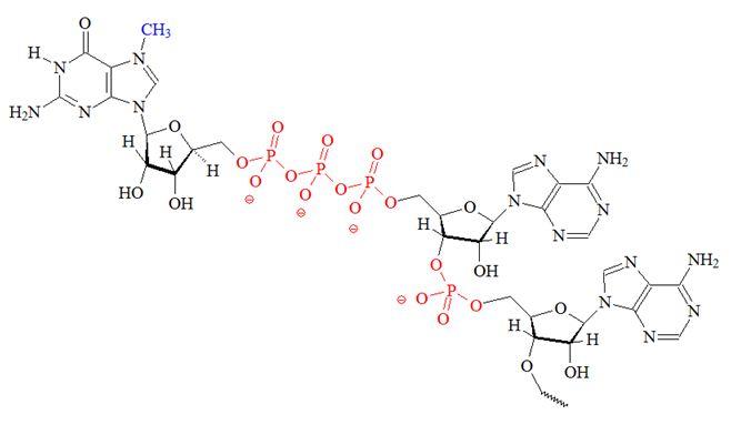5' N7-Methylguanosine-triphosphate (mCap