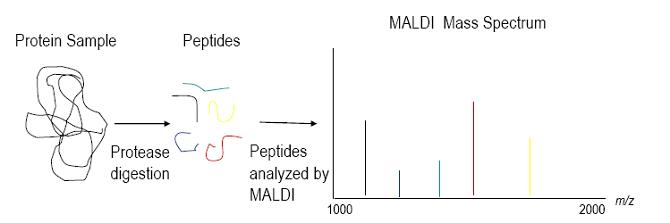 Maldi mass spectrum