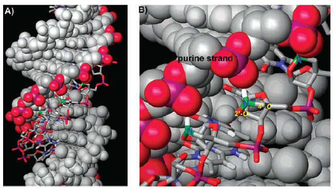 Model of BNANC[NH] TFO with dsDNA