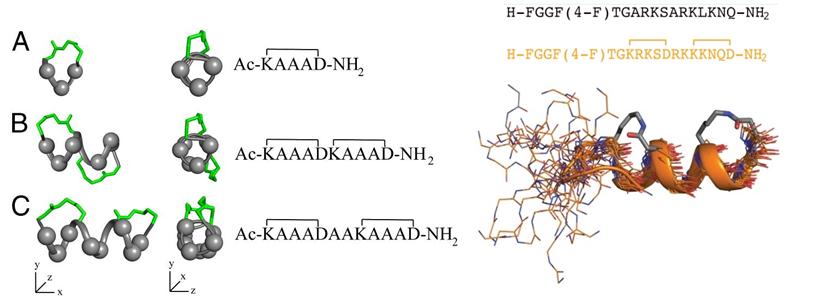 homodimer steroid receptor