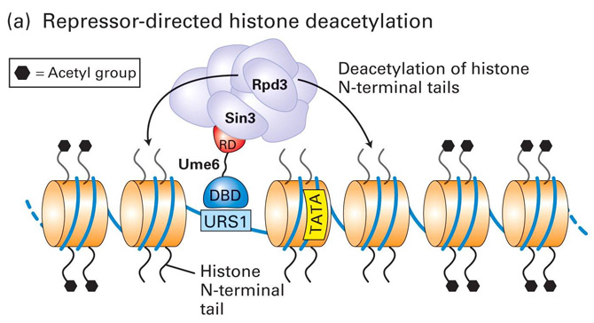 Transcriptional Repression and Activation in Yeast - I