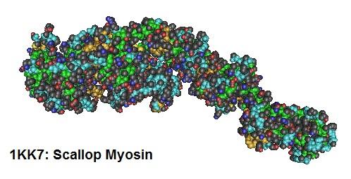 Scallop-myosin-1KK7