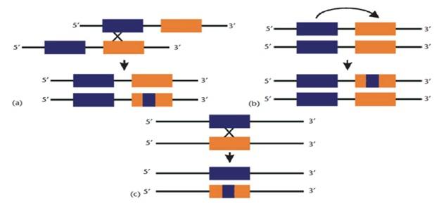 gene rearrangments
