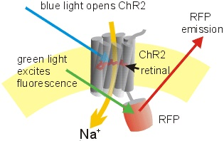 Optogenetics and Imaging in Neuroscience Research