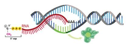 Messenger RNA