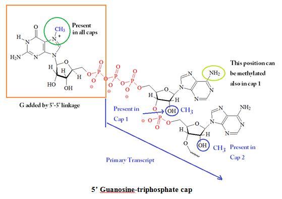 b936d575242 Guanosine triphosphate oligo capping 5 Gppp